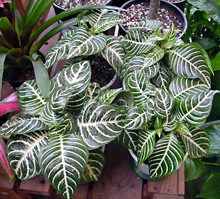 Zebra Plant – Aphelandra squarrosa