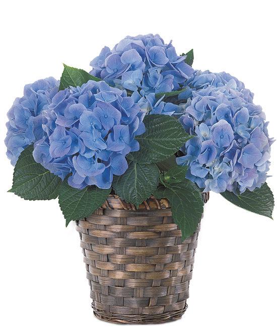 Apr - Blue Hydrangea Plant