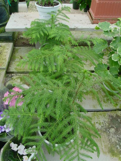 Norfolk Island Pine – Araucaria heterophylla