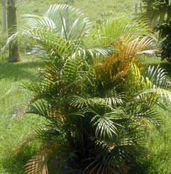 Areca Palm – Chrysalidocarpus lutescens
