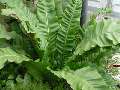 Bird's-Nest-Plant – Asplenium nidus