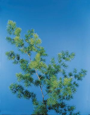 Ming Fern – Asparagus retrofractus (A. macowanii)