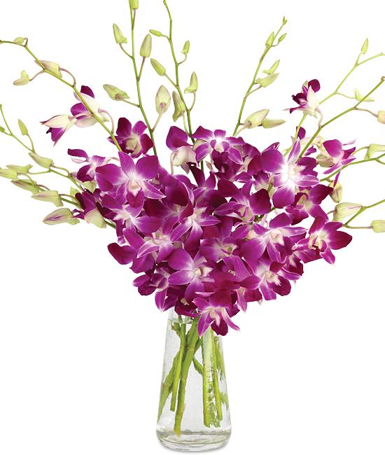 Aug - Bombay Dendrobiums