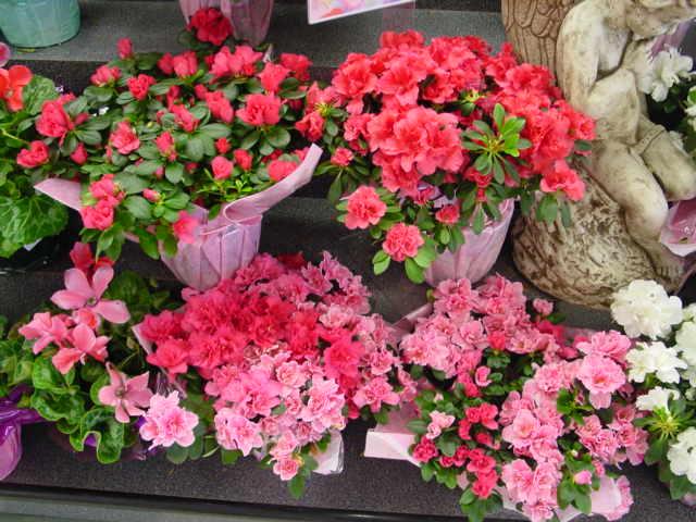 Azalea – Rhododendron spp.