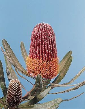 Banksia – Banksia spp.