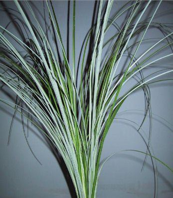 Beargrass – Xerophyllum tenax