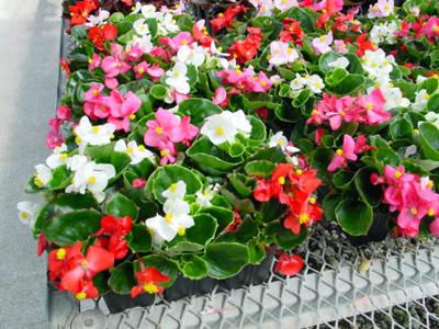Wax Begonia – Begonia X semperflorens (B. semperflorens-cultorum hybrids)