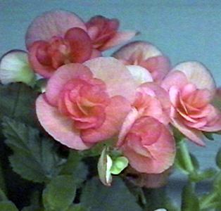 Begonia – Begonia X hiemalis