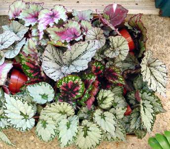 Rex Begonia – Begonia Rex Cultorum Hybrids and B. rex