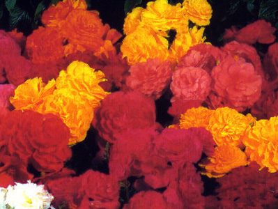 Tuberous Begonia – Begonia X tuberhybrida (B. tuberhybrida hybrids)