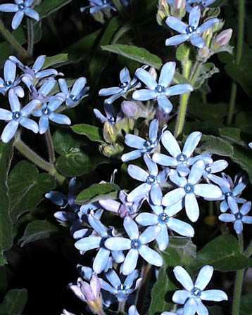 Tweedia – Tweedia caerulea (Oxypetalum caeruleum)