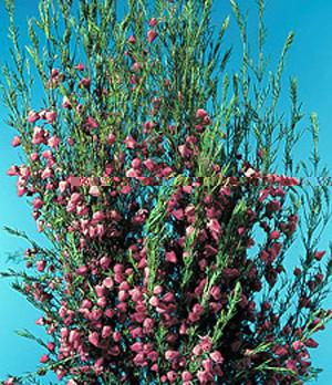 Boronia – Boronia spp. (mostly B. heterophylla and B. megastigma)