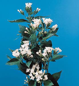 Bouvardia – Bouvardia longiflora, B. ternifolia or B. leiantha