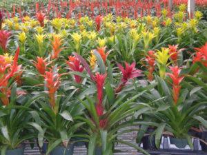 Bromeliads - Calyx Flowers, Inc.