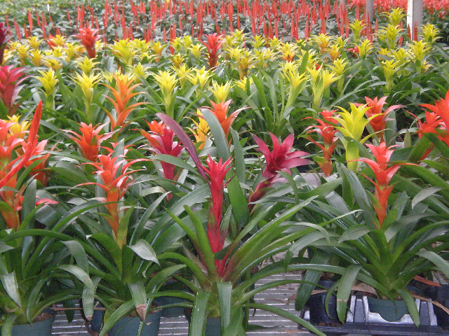 Vibrant red, yellow & orange bromeliads