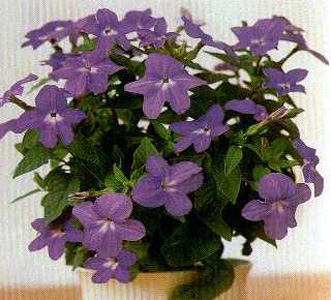 Browallia – Browallia spp.