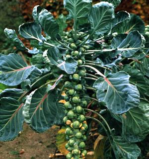 Brussels Sprouts – Brassica oleracea var. gemmifera