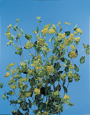 Thorow-Wax – Bupleurum griffithii or B. rotundifolium