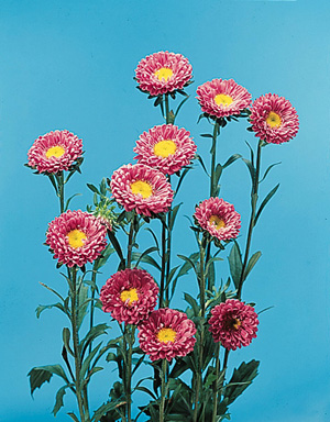 China Aster – Callistephus chinensis