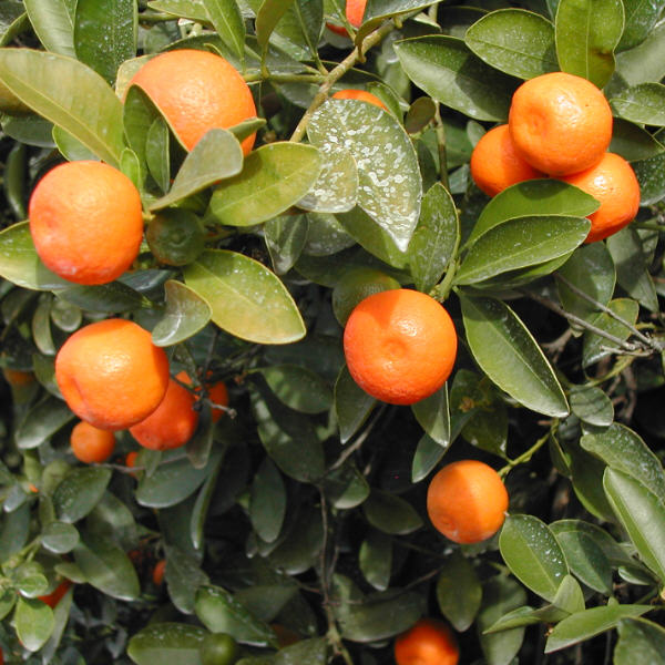calamondin x citrofortunella microcarpa or x c mitis calyx flowers inc. Black Bedroom Furniture Sets. Home Design Ideas