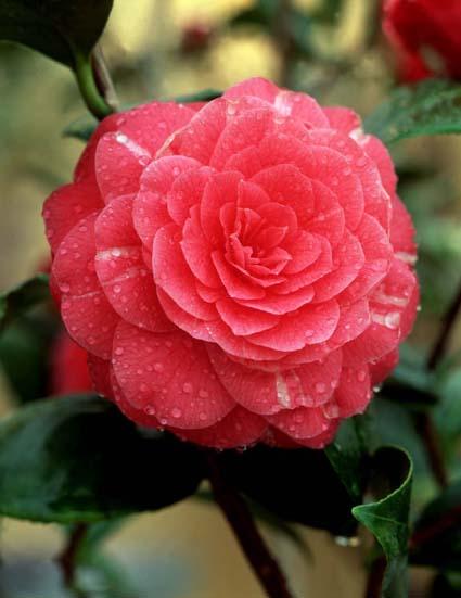 Camellia – Camellia japonica