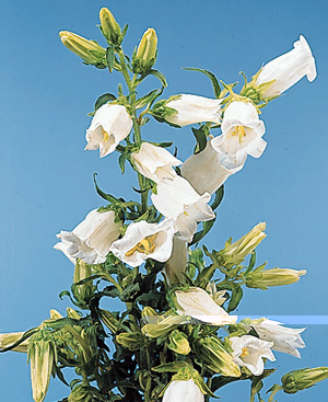 Bellflower – Campanula spp.