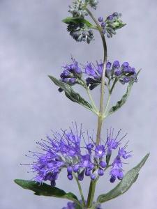 Bluebeard – Caryopteris X clandonensis