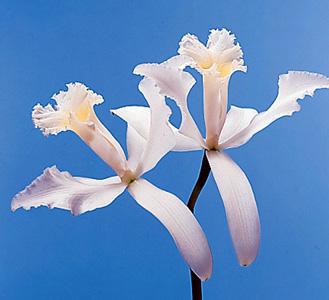Cattleya Orchid – Cattleya spp.