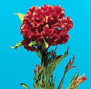 Cockscomb – Celosia argentea var. cristata