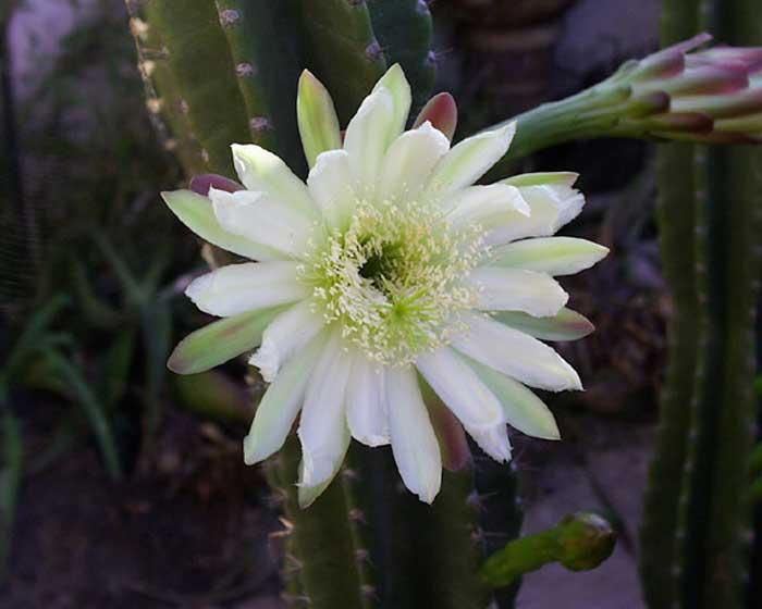 Cactus – Cereus, Notocactus, Opuntia, Echinocactus and Echinopsis spp.