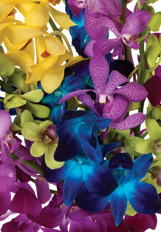 Assorted Rainbow Orchids
