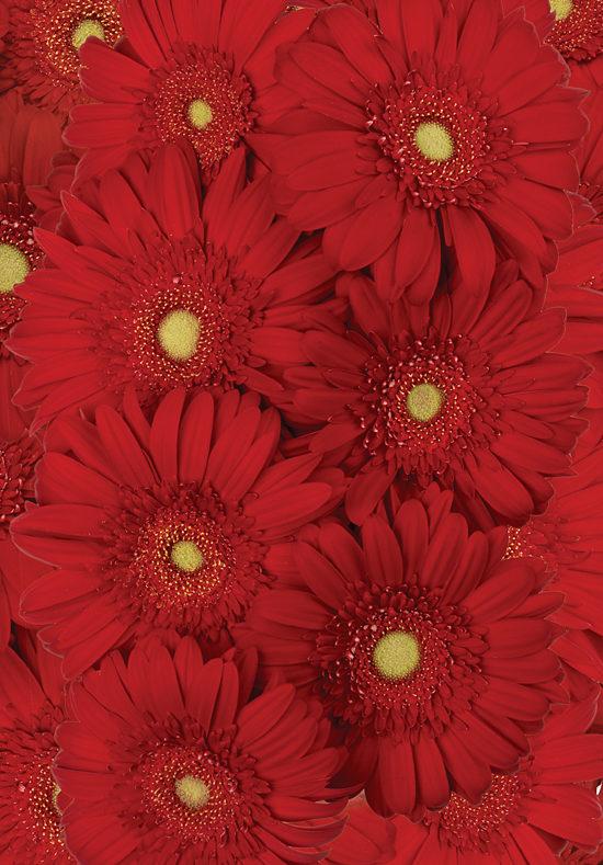 Red Gerbera Daisies