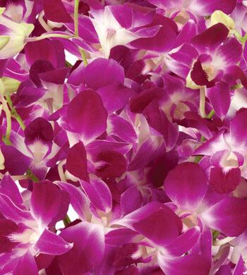 Purple Bom Dendrobiums