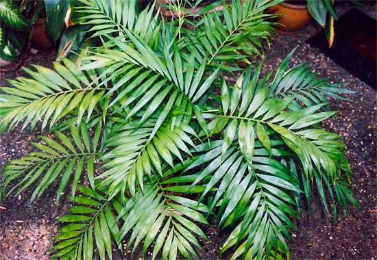 Emerald Palm – Chamaedorea elegans