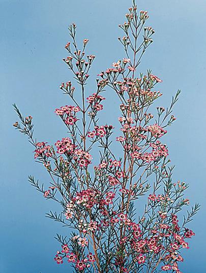 Waxflower – Chamelaucium uncinatum