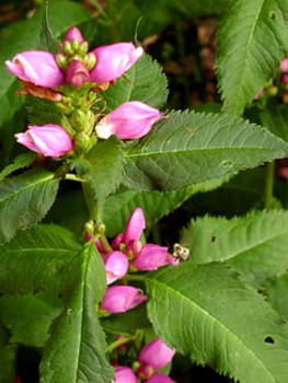 Turtlehead – Chelone spp.