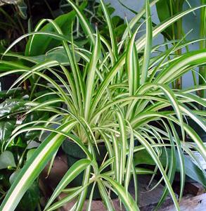 Spider Plant – Chlorophytum comosum