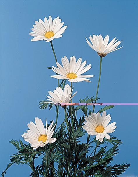 Marguerite Daisy – Argyranthemum frutescens  (Chrysanthemum frutescens)