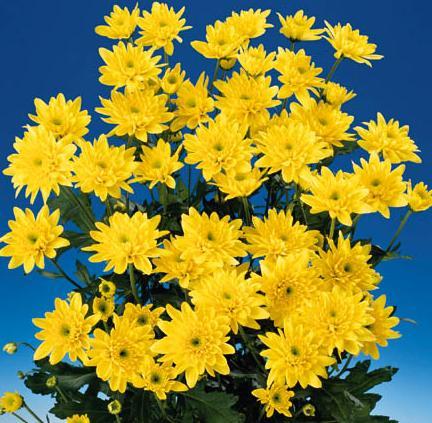 Mum – Chrysanthemum X morifolium (Dendranthema X grandiflorum)