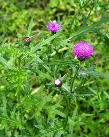 Thistle – Cirsium japonicum