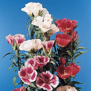 Godetia – Clarkia amoena