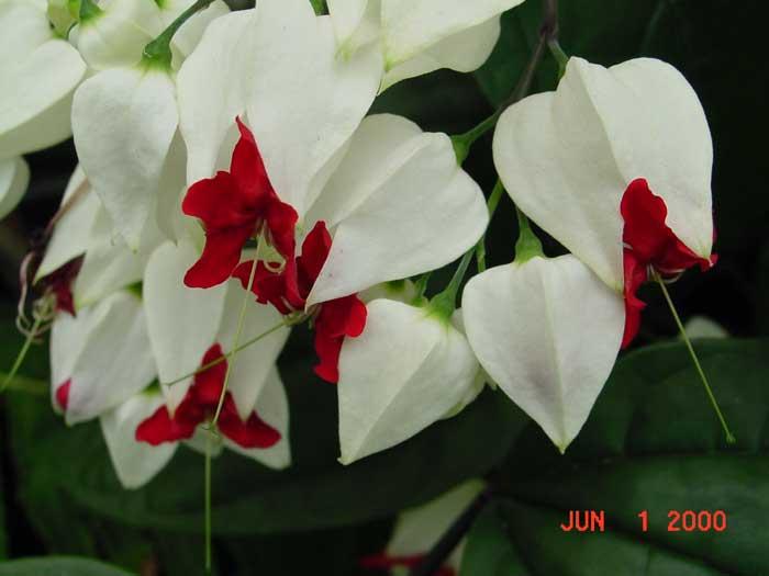 Glorybower – Clerodendrum spp. (mostly C. philippinium)