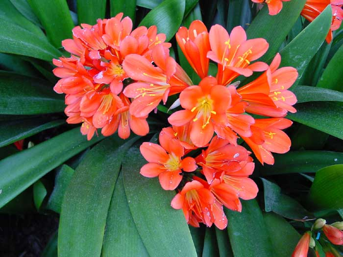 Kaffir Lily – Clivia spp.