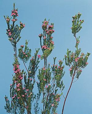 Diosma – Coleonema pulchrum, C. album