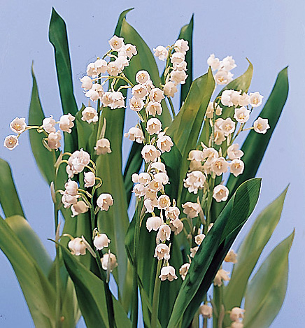 Lily of the Valley – Convallaria majalis