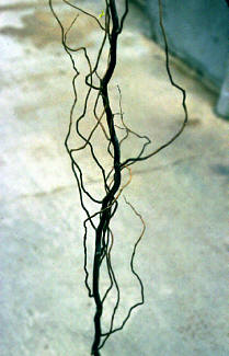 Corkscrew Willow – Salix matsudana