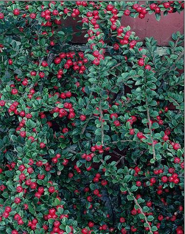 Cotoneaster – Cotoneaster spp.