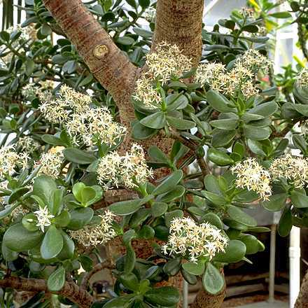 Jade Plant and Silver Jade Plant – Crassula argentea and C. arborescens