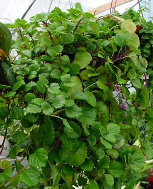 Swedish Ivy – Plectranthus spp.