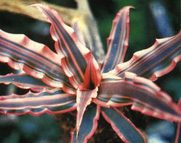 Starfish Plant – Cryptanthus spp.